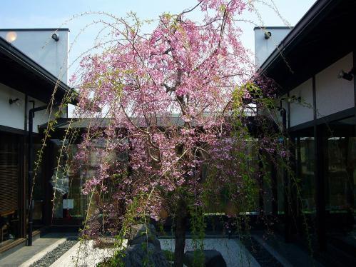 桜珈琲_中庭桜