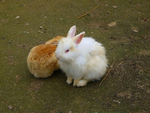 岡山_みつばち農園_ウサギ