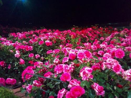 浜寺公園_ばら園3