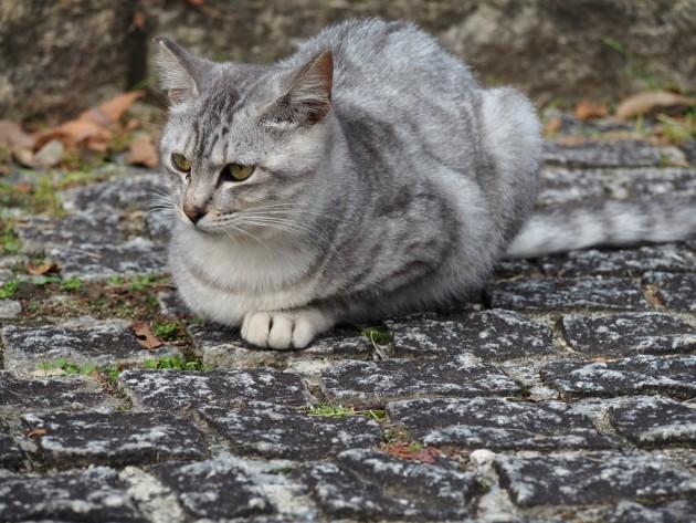 大泉緑地の可愛いキジ猫