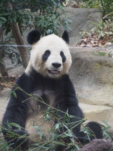上野動物園_パンダ8