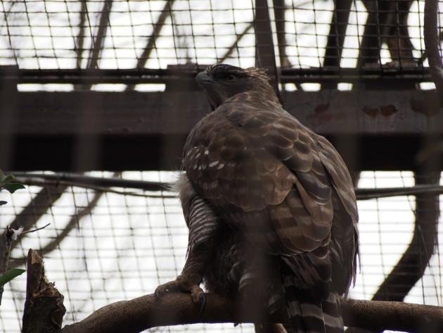上野動物園_猛禽類2