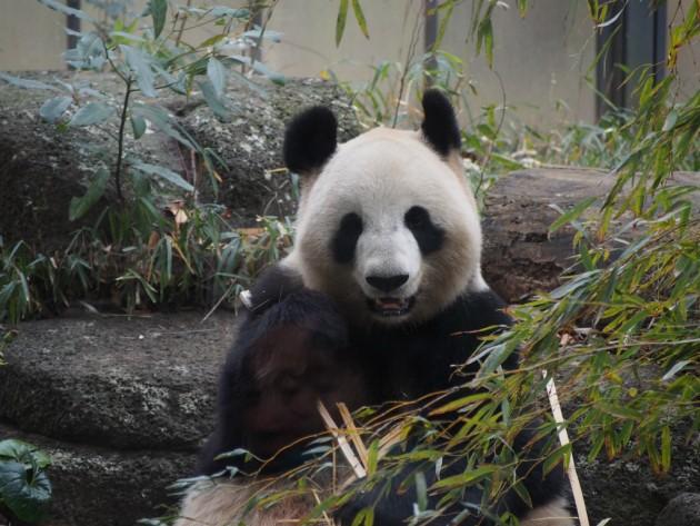 上野動物園_パンダ1