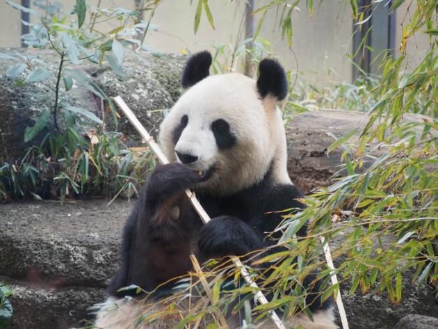 上野動物園_パンダ2