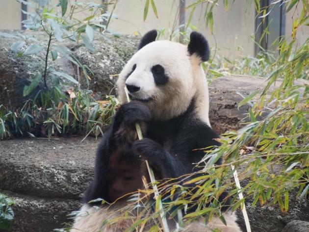 上野動物園_パンダ3