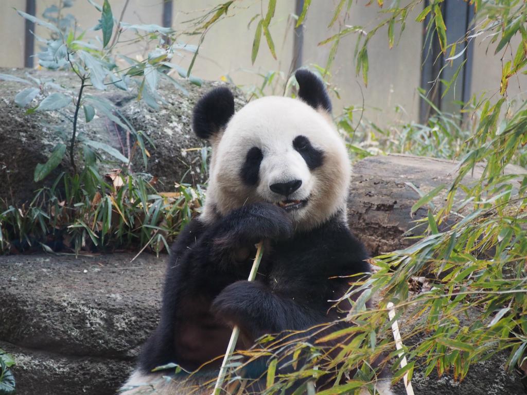 真冬の寒い中上野動物園でパンダを見てきた【前編】