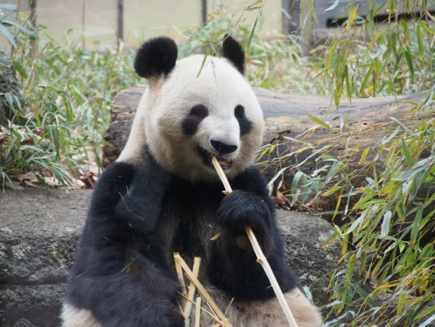 上野動物園_パンダ5