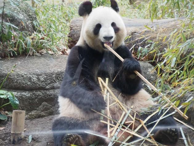 上野動物園_パンダ6