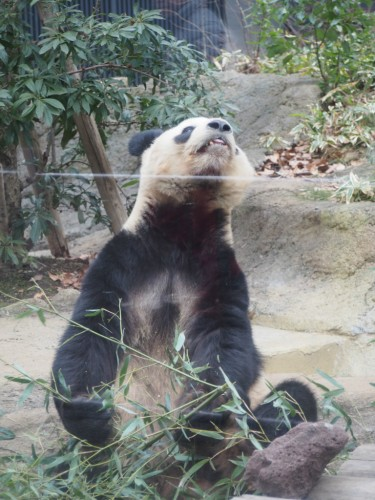 上野動物園_パンダ9