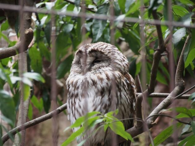 上野動物園_フクロウ2
