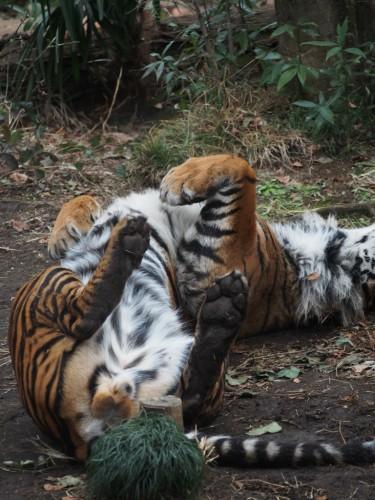 上野動物園_トラ3