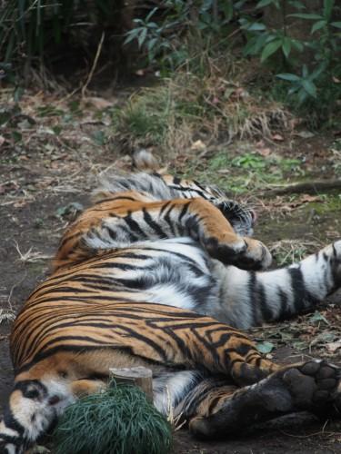 上野動物園_トラ4