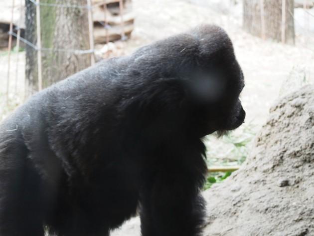 上野動物園_ゴリラ