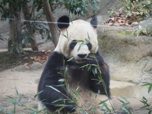 上野動物園_パンダ7