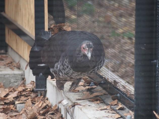 上野動物園_ホロホロ鳥?