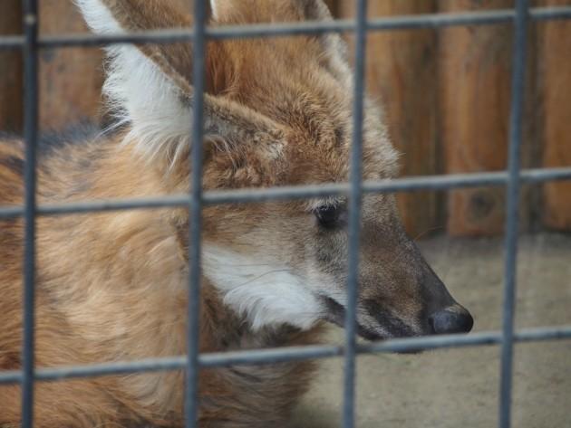 上野動物園_狐っぽいサムシング