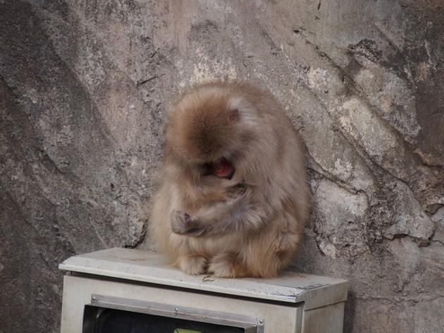 上野動物園_猿4