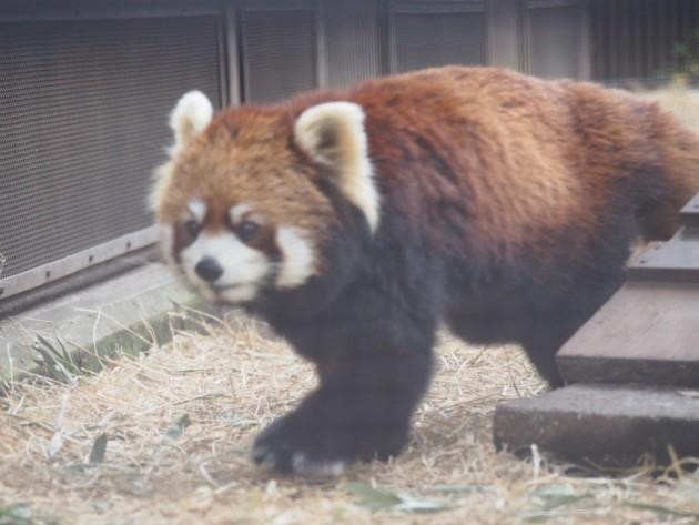 上野動物園_歩くレッサーパンダ