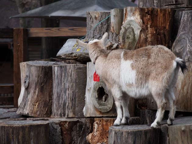 上野動物園_ヤギ2