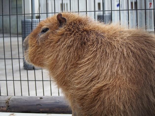 上野動物園_カピバラさん