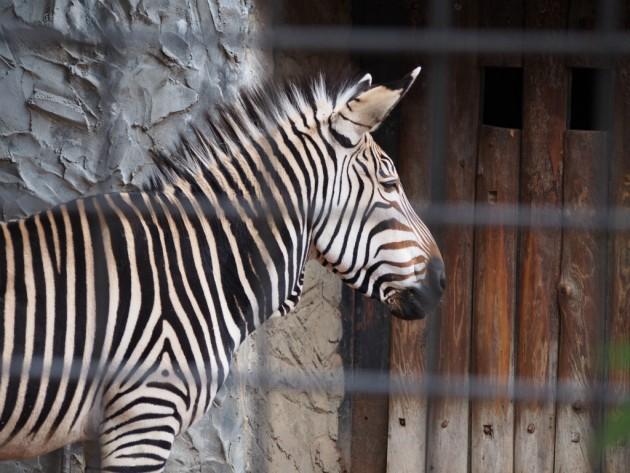 上野動物園_寂しそうなシマウマ