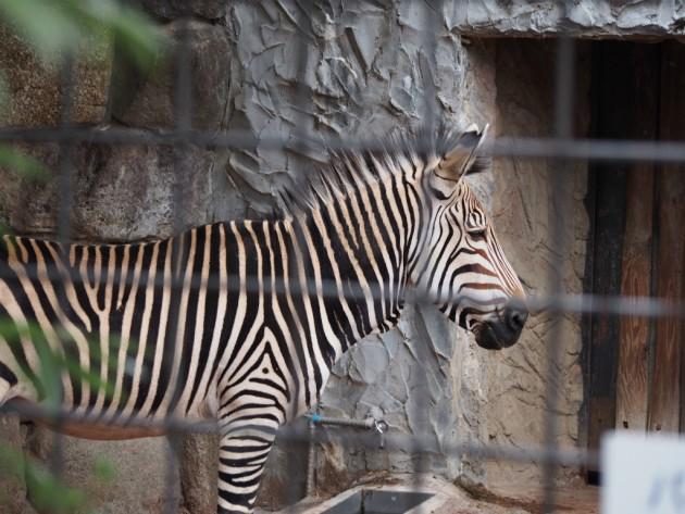 上野動物園_シマウマ
