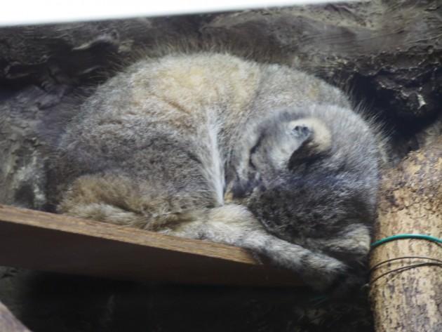 上野動物園_猫っぽいの2