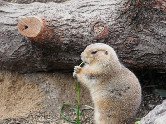 上野動物園_プレーリードッグ3