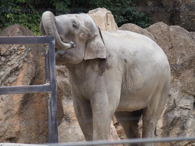 上野動物園_ゾウの鼻