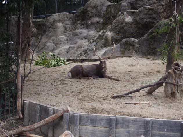 上野動物園_シカ
