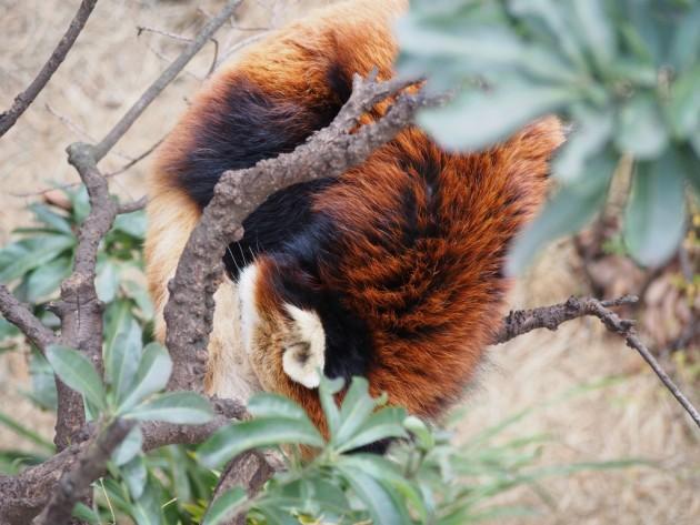 上野動物園_樹上のレッサーパンダ