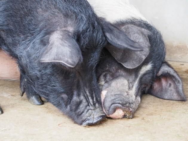 上野動物園_可愛い豚