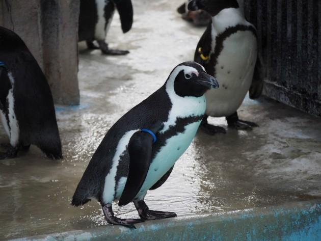 上野動物園_ペンギン