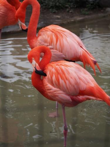 上野動物園_フラミンゴ