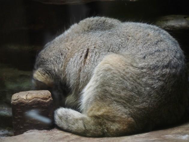上野動物園_猫っぽいの