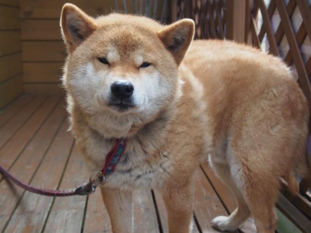 リンク&リリー_お店の犬2